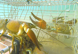 underwater crawfishing action