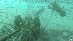underwater go pro footage of crawfish in a trap